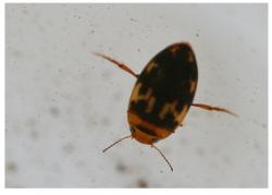 Water-Bug-250x179